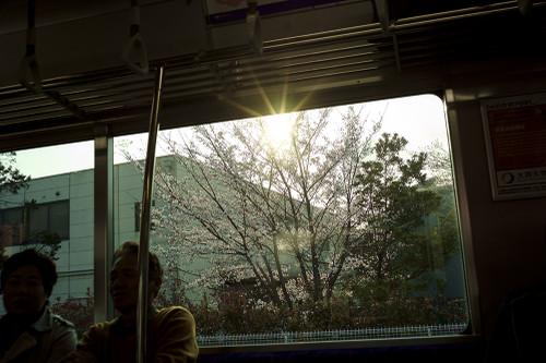 Nagoya_sakura
